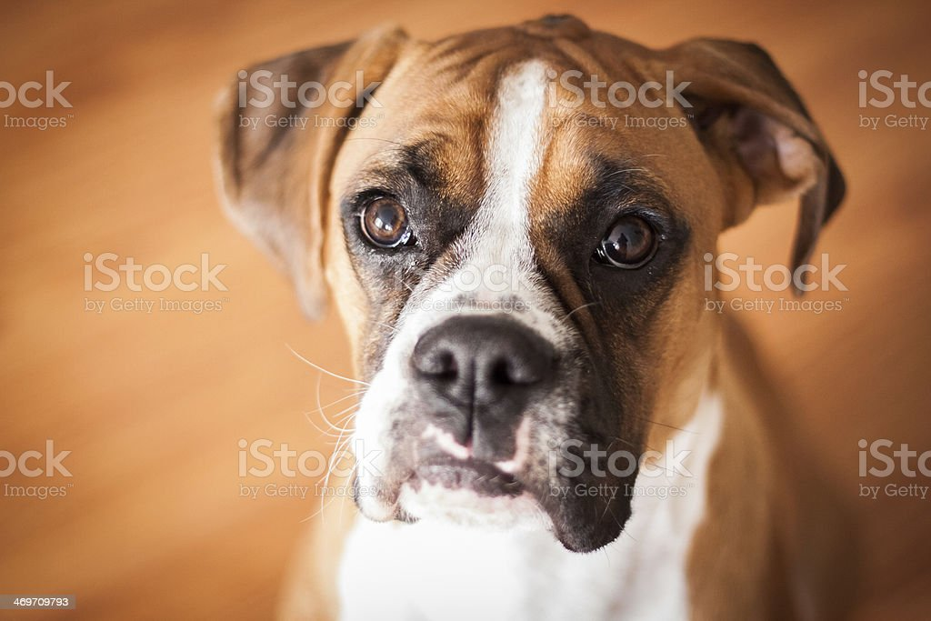 Boxer Puppy Closeup stock photo