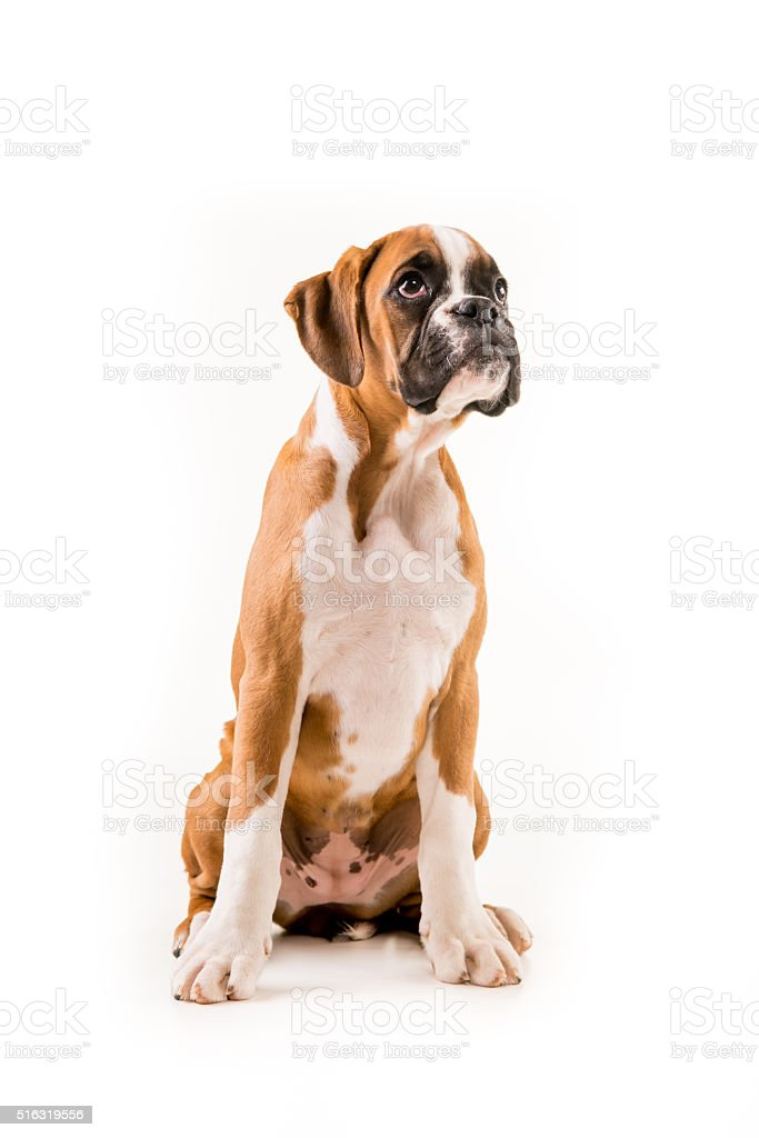Boxer Puppy German Stock Photo Download Image Now Istock