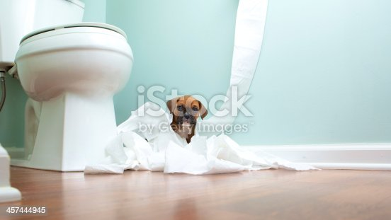 Boxer Puppy playing in toilet paper in the bathroom