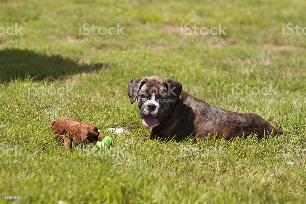Boxer puppy laying in the grass royalty-free stock photo