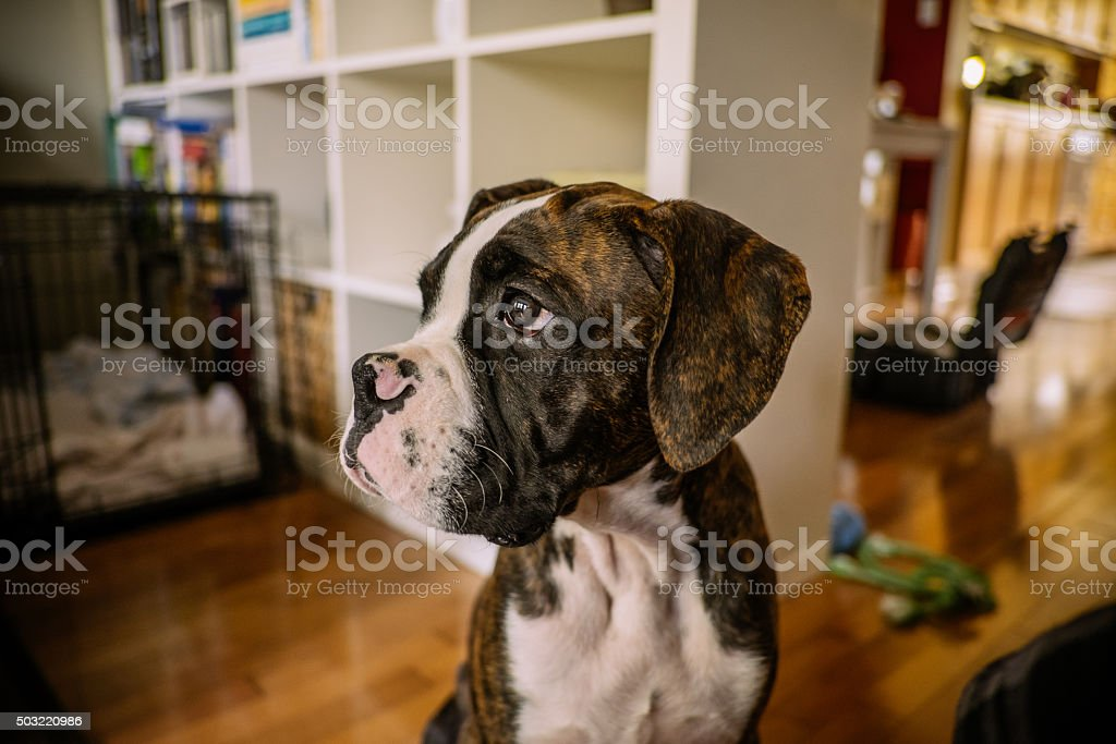 Boxer Puppy stock photo