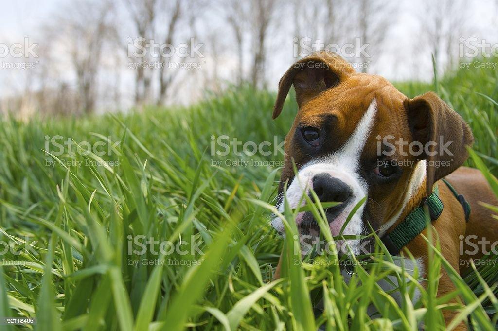 Filhote de cachorro Boxer - foto de acervo