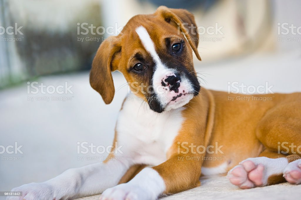 Boxer Puppy royalty-free stock photo