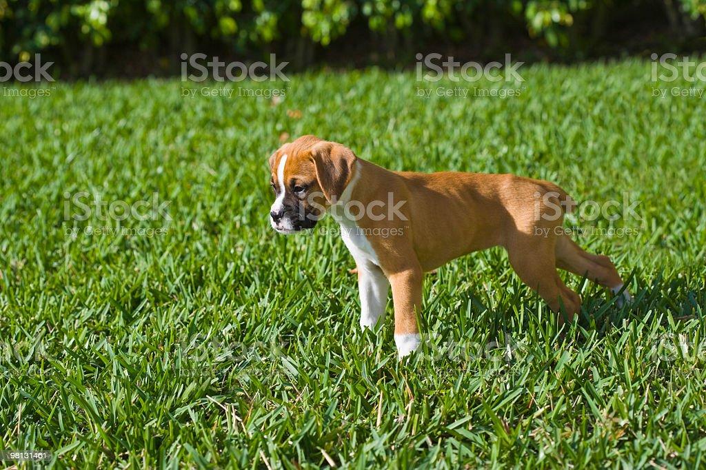 Boxer Puppy royalty-free stock photo