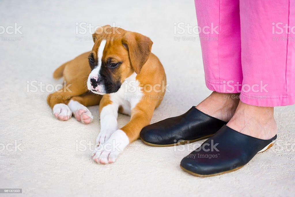 Boxer cucciolo foto stock royalty-free