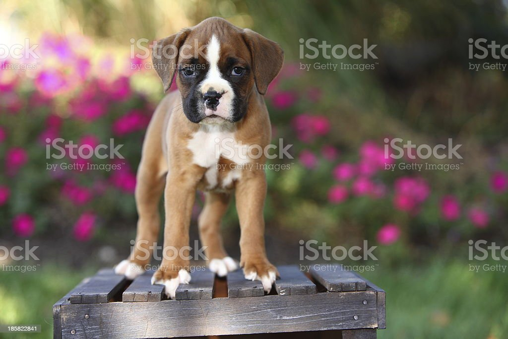 Boxer Puppy Standing on Wooden Crate in Garden stock photo