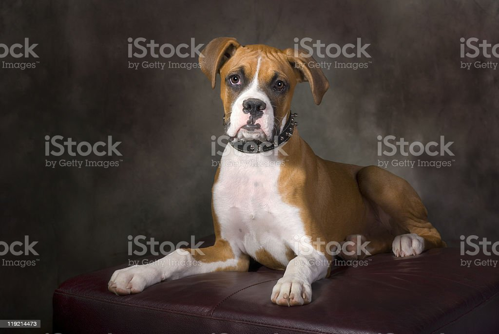Boxer Puppy with Spiked Collar stock photo