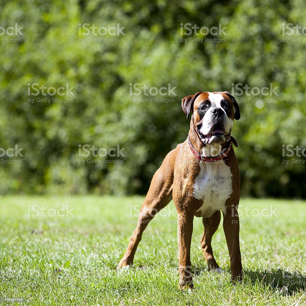 boxer ready to rumble stock photo