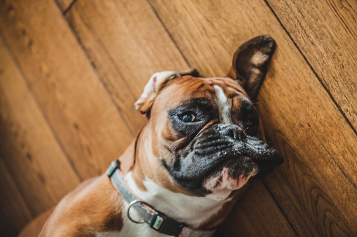 Naughty boxer dog lying down on a hardwood floor looking suspiciously at the camera
