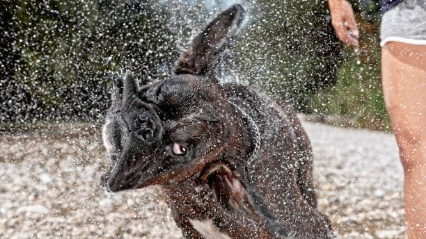 Boxer shaking head Boxer dog shaking head in water. slow motion stock pictures, royalty-free photos & images