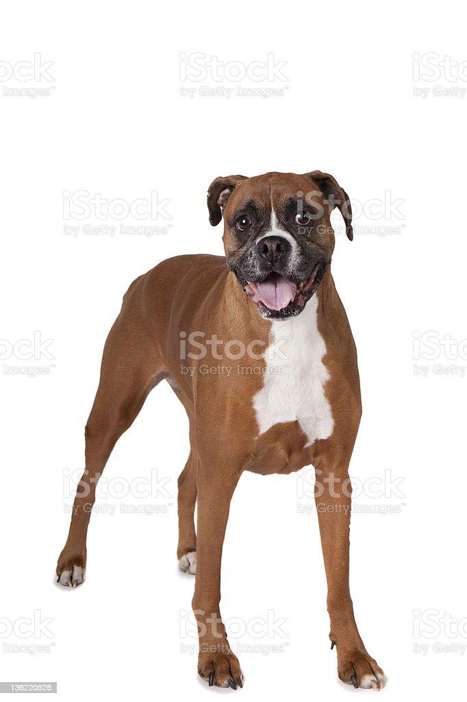 Boxer standing full body royalty-free stock photo