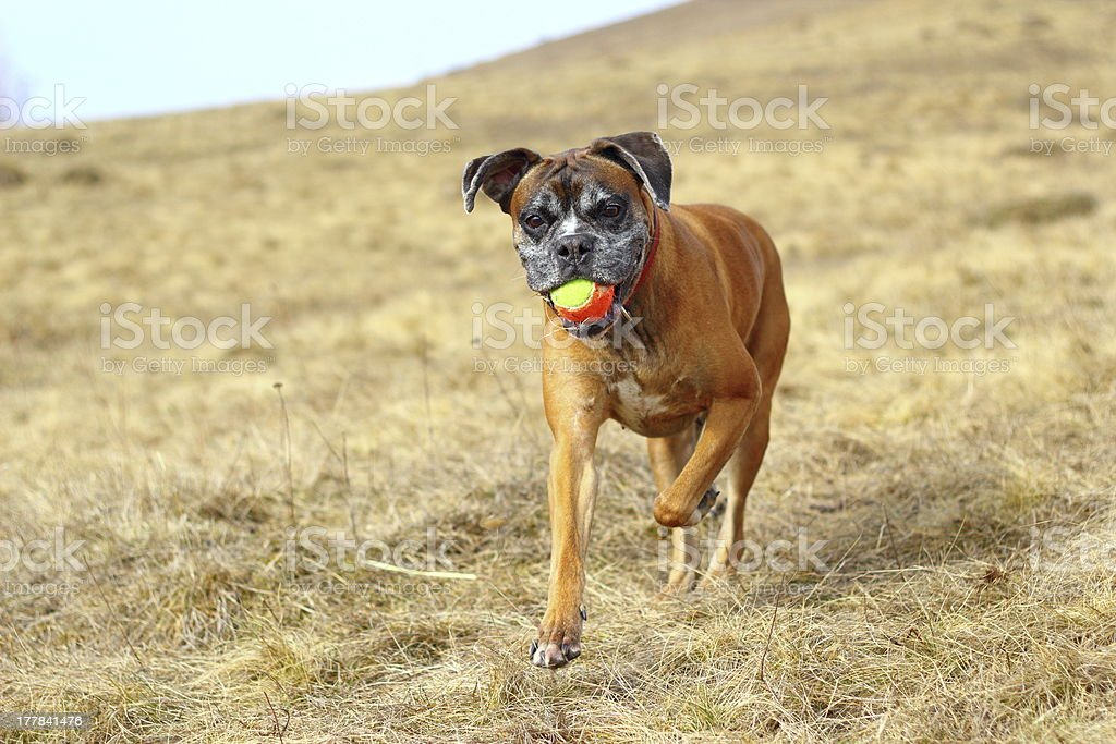 boxer with colorful ball stock photo
