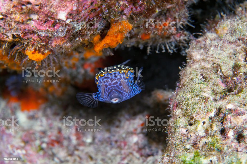 Boxfish close-up. Sipadan island. Celebes sea. Malaysia. stock photo