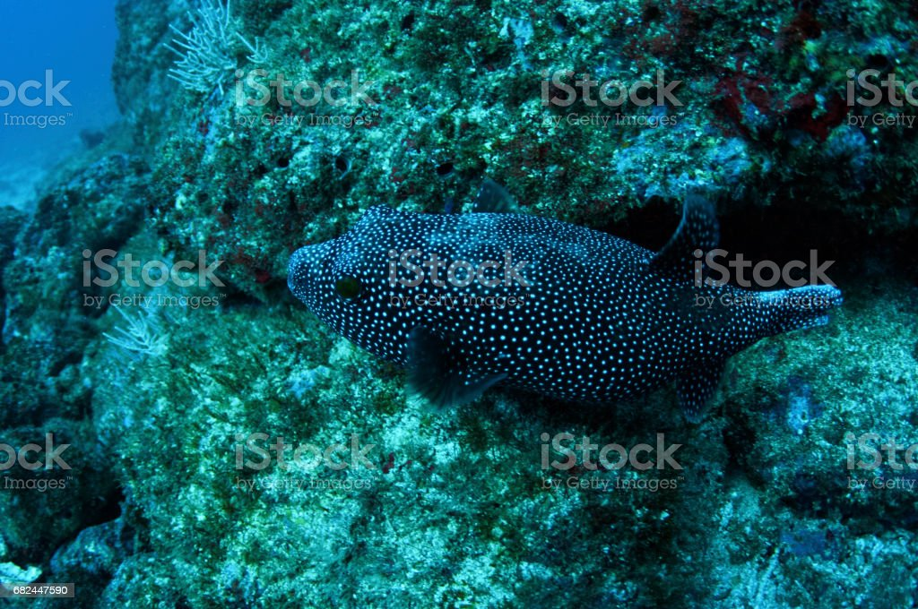 Boxfish from above over rocky bottom 2 royalty-free stock photo