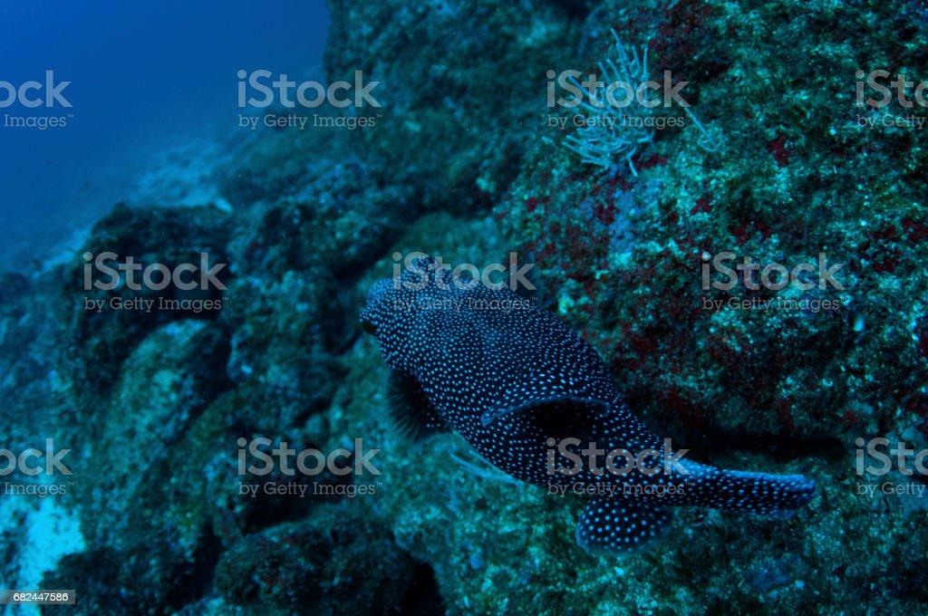 Boxfish from above over rocky bottom 3 royalty-free stock photo