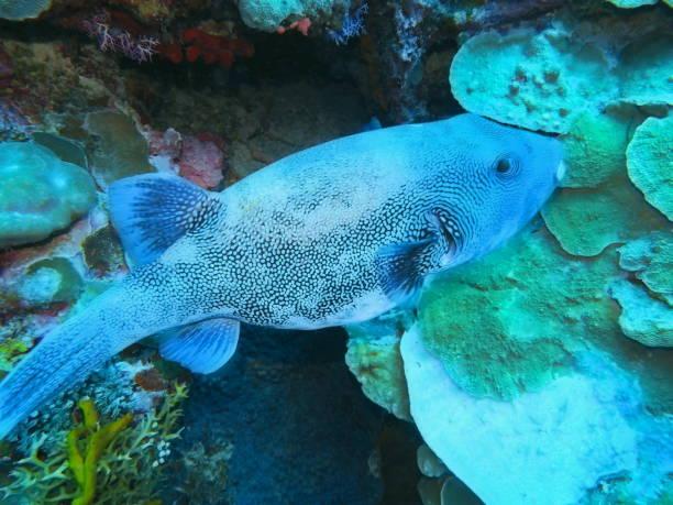 Boxfish stock photo