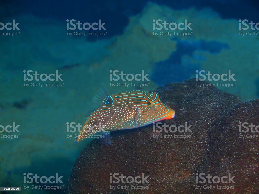 Boxfish - Foto stock royalty-free di Animale