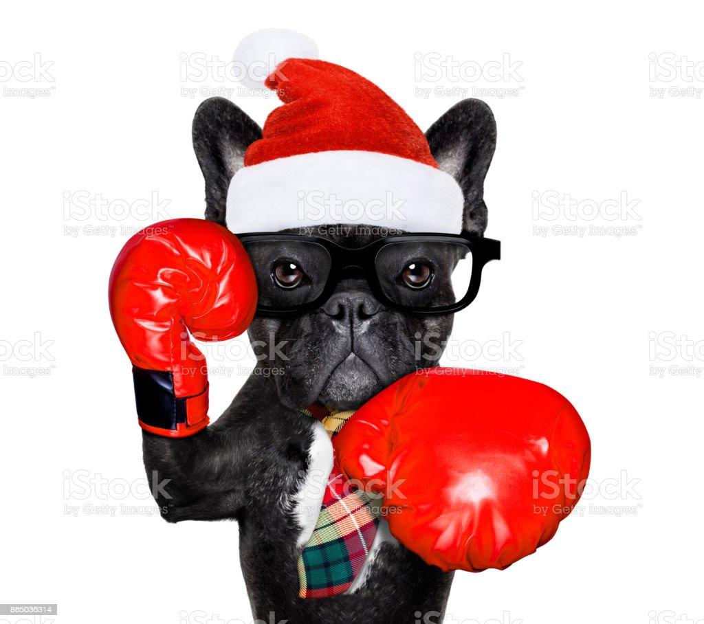 boxing dog  on christmas holidays stock photo