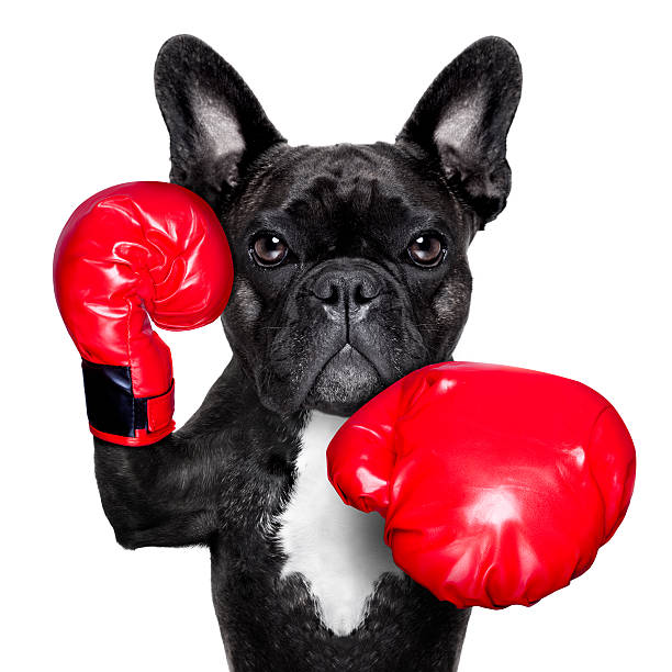 boxing dog stock photo