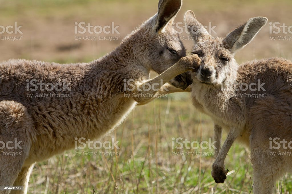 Boxing Kangaroo stock photo