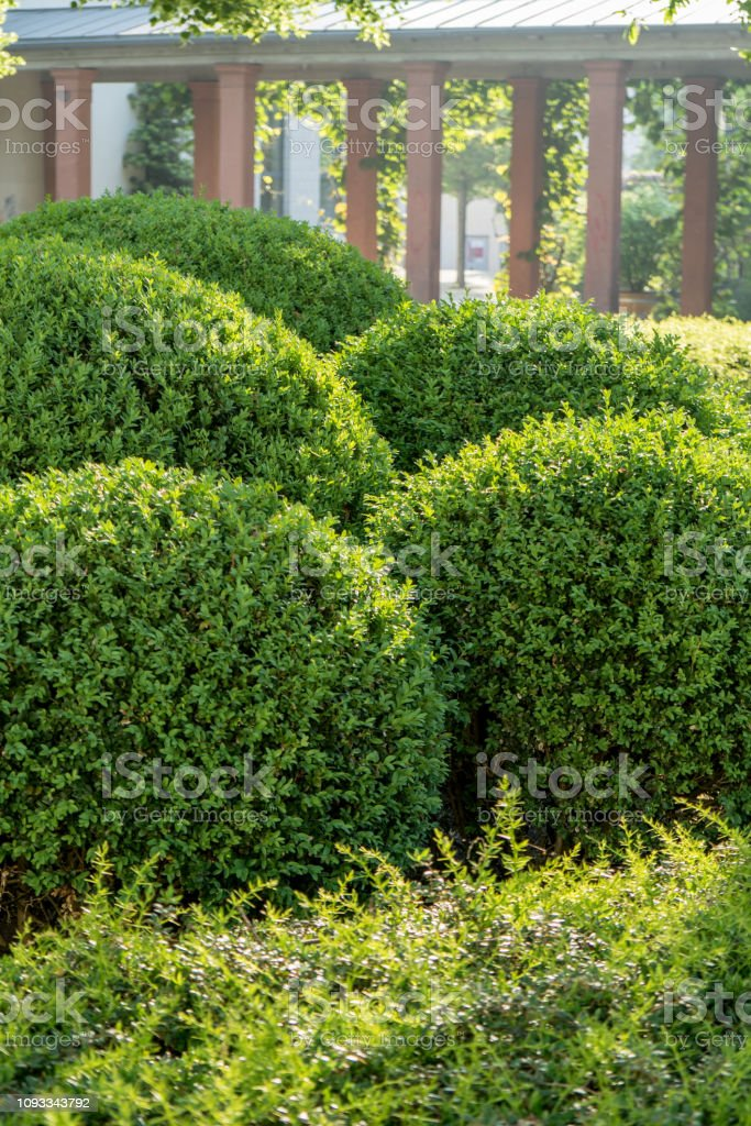 Buchsbaum Kugeln in Form geschnitten – Foto