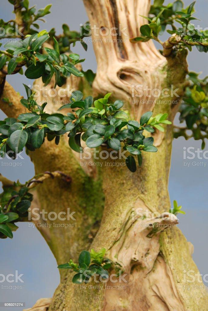 Boxwood Bonsai Tree Stock Photo Download Image Now Istock