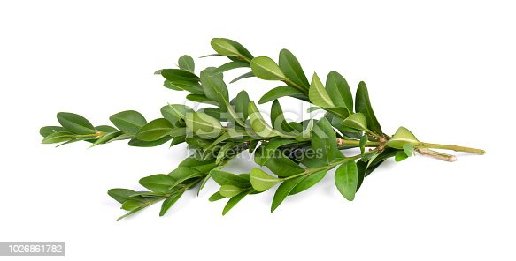 Boxwood branch isolated on a white background.