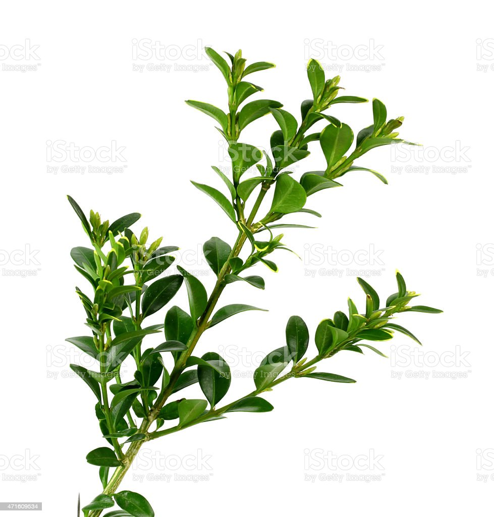 boxwood branch on a white background stock photo