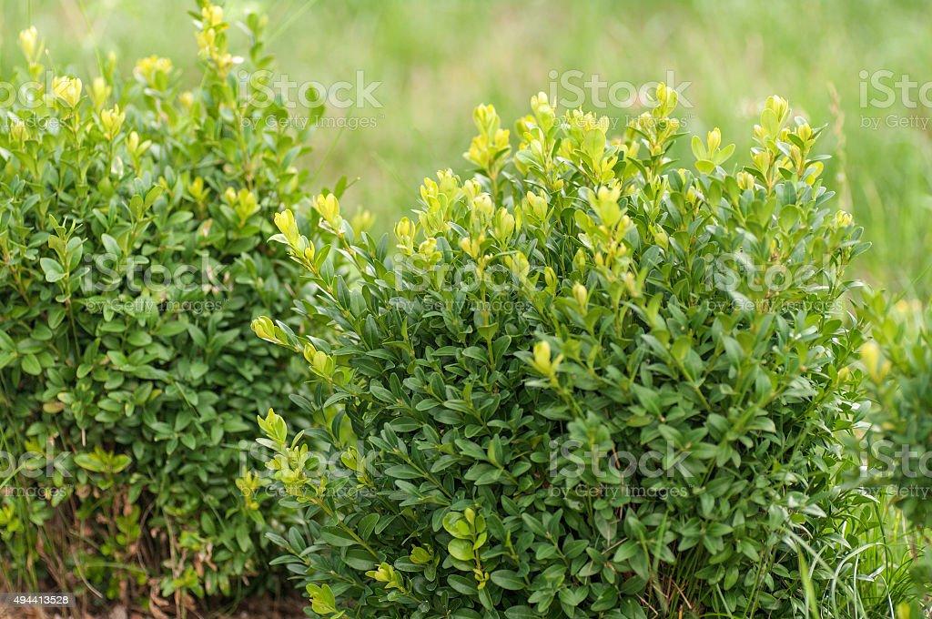 boxwood Bush stock photo