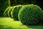 istock boxwood bushes round shape,formal park 493238552