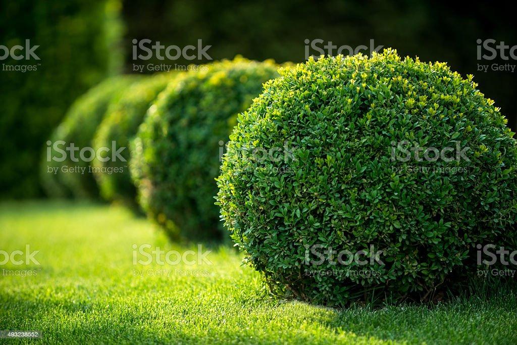 boxwood bushes round shape,formal park stock photo