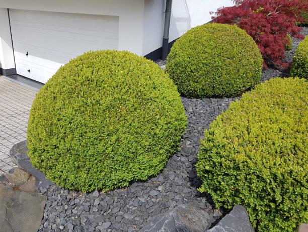 Buchsbaum, Buxus, Semperviren – Foto