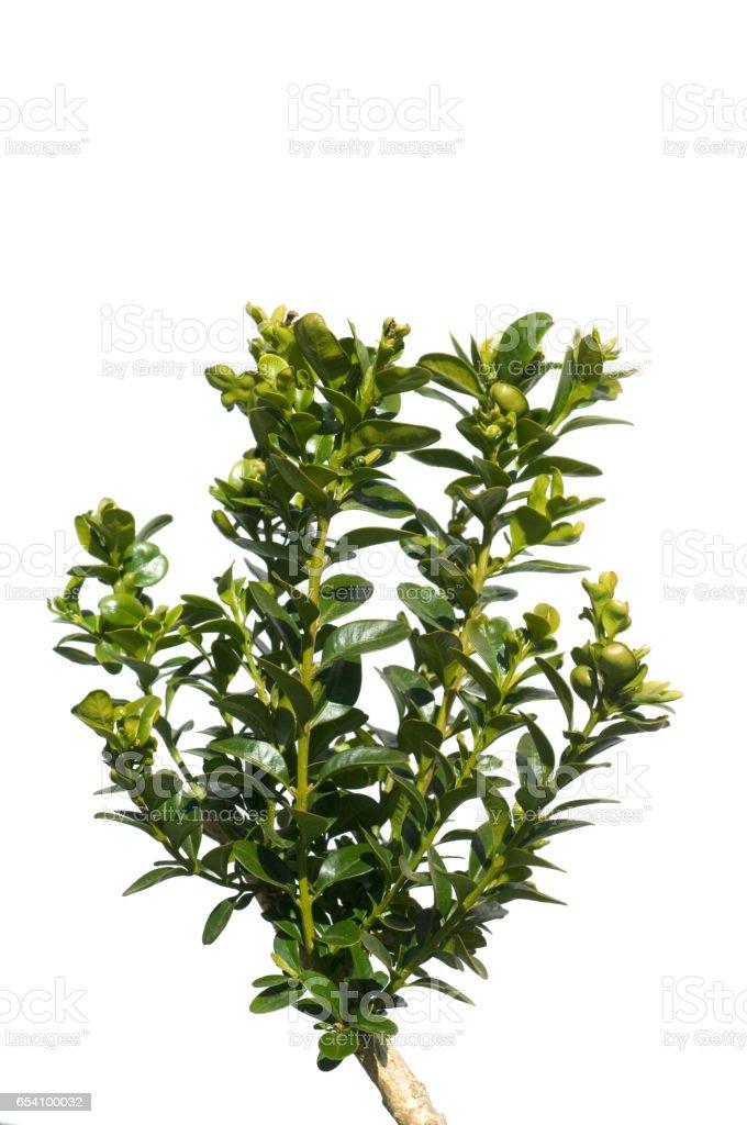Boxwood, Buxus, sempervirens stock photo