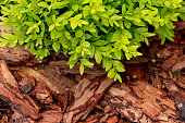 Close-up of a boxwood with pine mulch.
