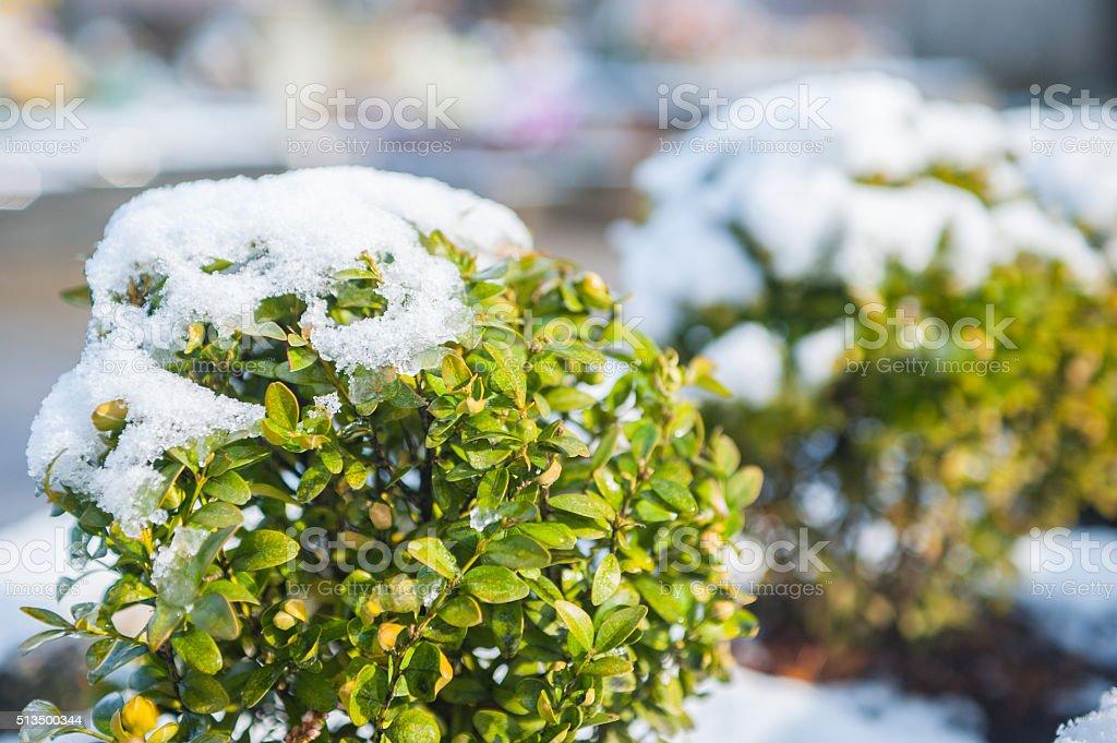 boxwood in snow stock photo