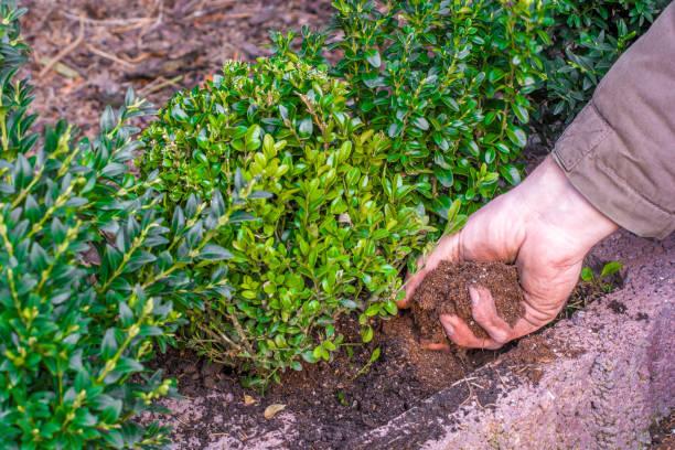 Buchsbaum ist in Hecke gepflanzt. – Foto