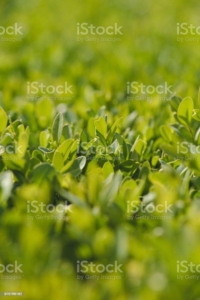 Buchsbaum Pflanzen grüne Blätter in Nahaufnahme - Lizenzfrei Biologie Stock-Foto