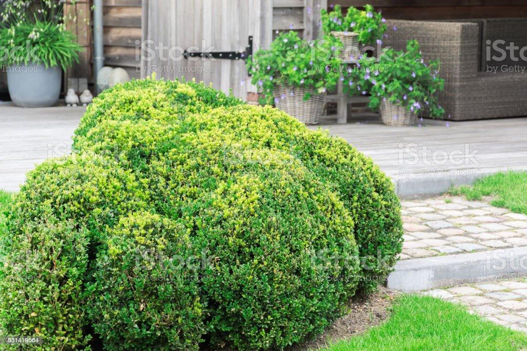 Arbuste de buis - Buxus Sempervirens - Photo