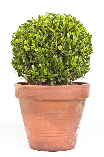 buis shrub - buis photos et images de collection