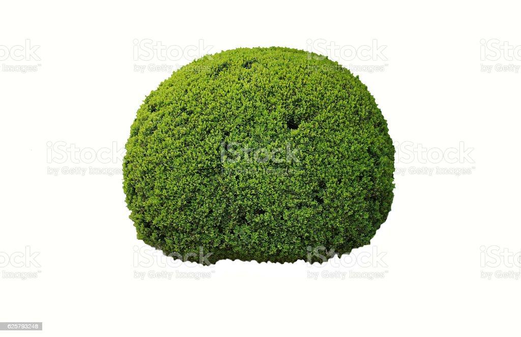 boxwood shrub stock photo