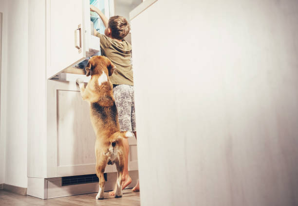 Boy and beagle dog look something delicious  in refrigerator stock photo
