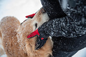 Beautiful affection between a boy and his golden retriever. Snow is falling in this winter scene, boy is wearing gloves and petting the large furry dog.