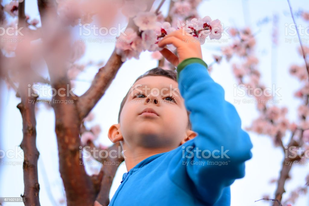 Boy climbing on spring blossoming apricot tree stock photo