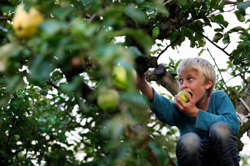 Boy eating in fruit tree