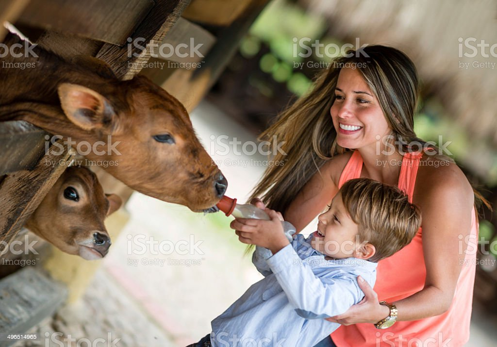 Boy feeding a cow stock photo