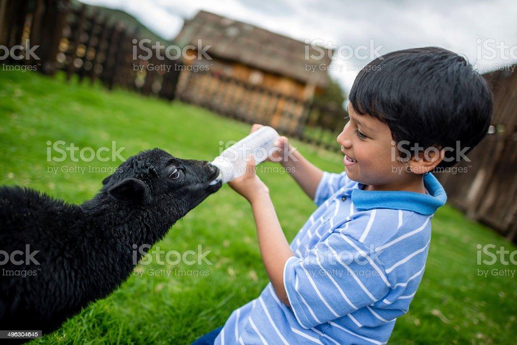 Boy feeding a goat stock photo