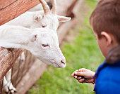 Boy feeding goats at a petting zoo