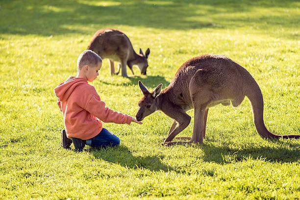 Boy feeding kangaroo – Foto