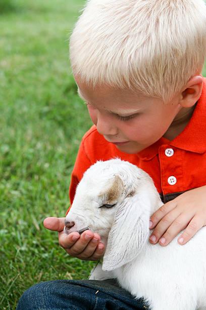 Petit garçon nourrir agneau sur farm - Photo