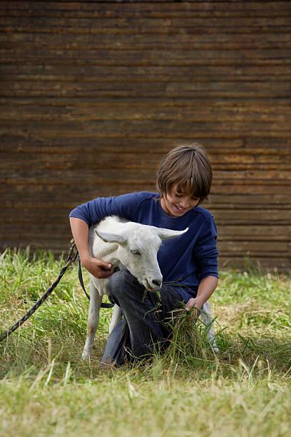 junge feeing goat - ziegenhof stock-fotos und bilder